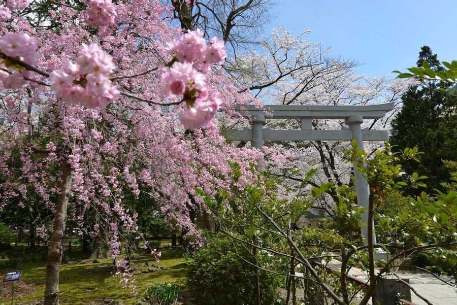 鳥居と桜-5