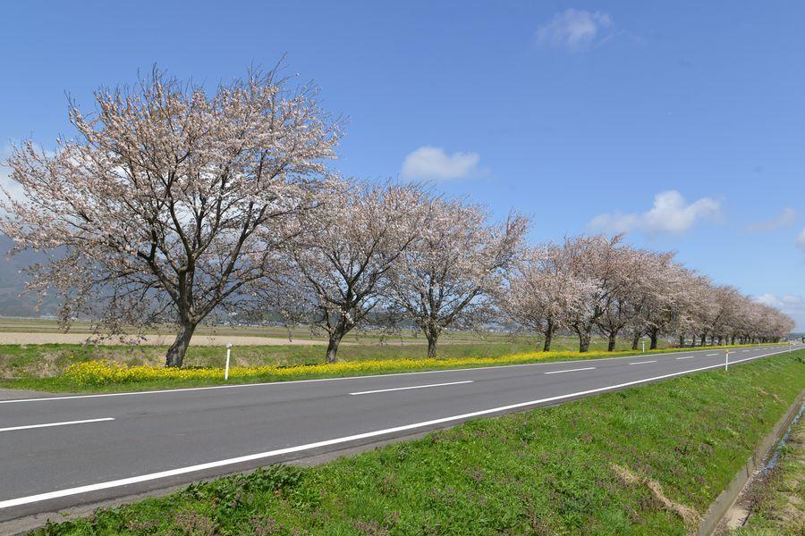 菜の花と桜-1