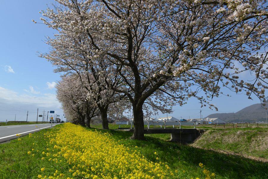菜の花と桜-3