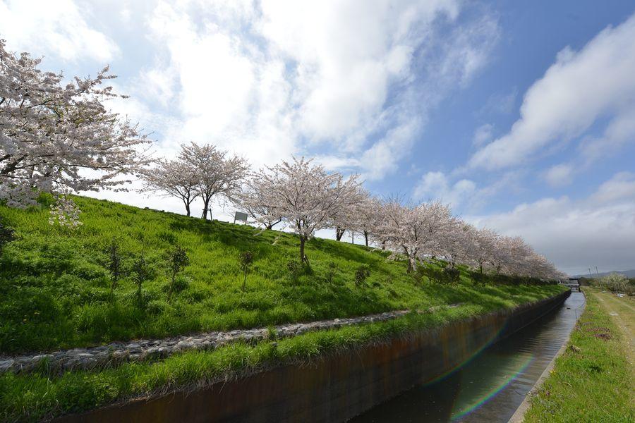 大河津分水の桜-1