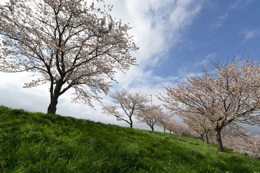 大河津分水の桜-4
