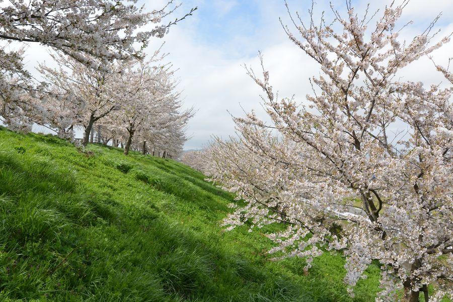 大河津分水の桜-5