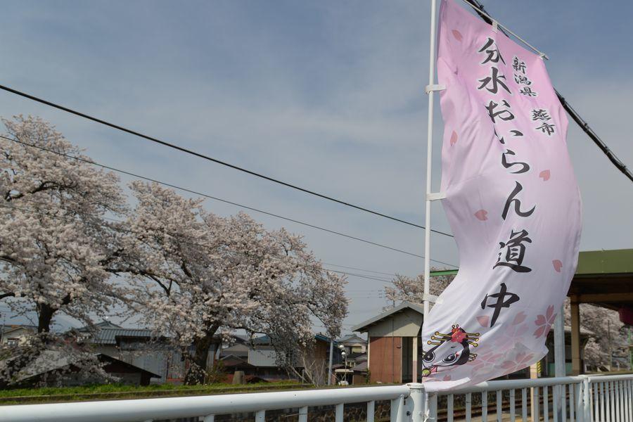 大河津分水 桜-7