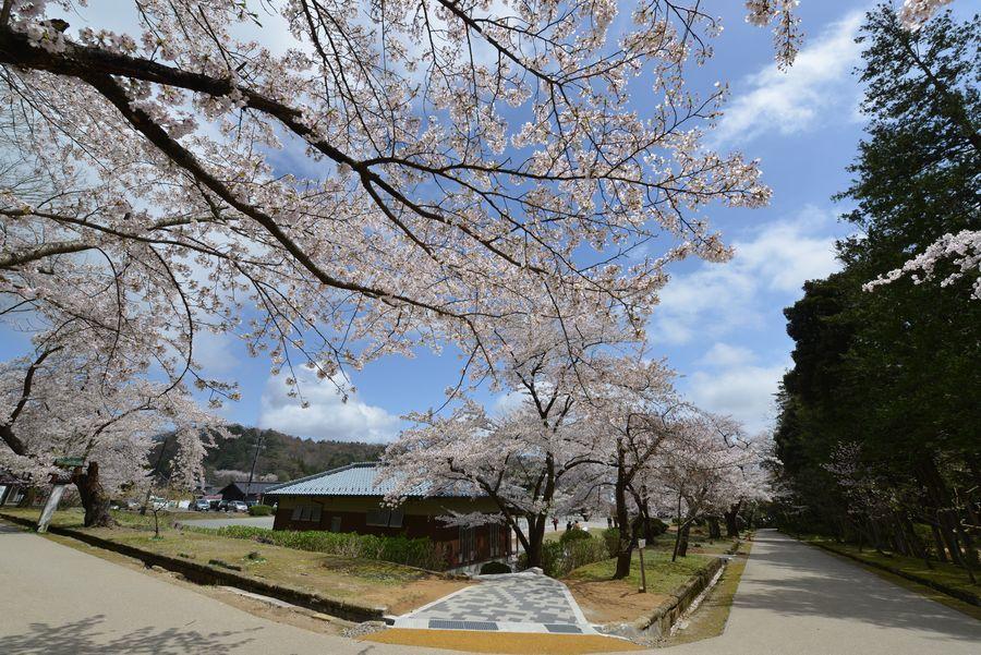 弥彦公園の桜-3