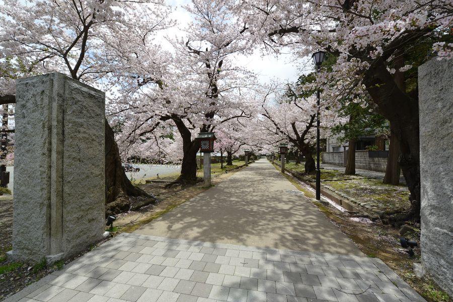 弥彦公園の桜-4
