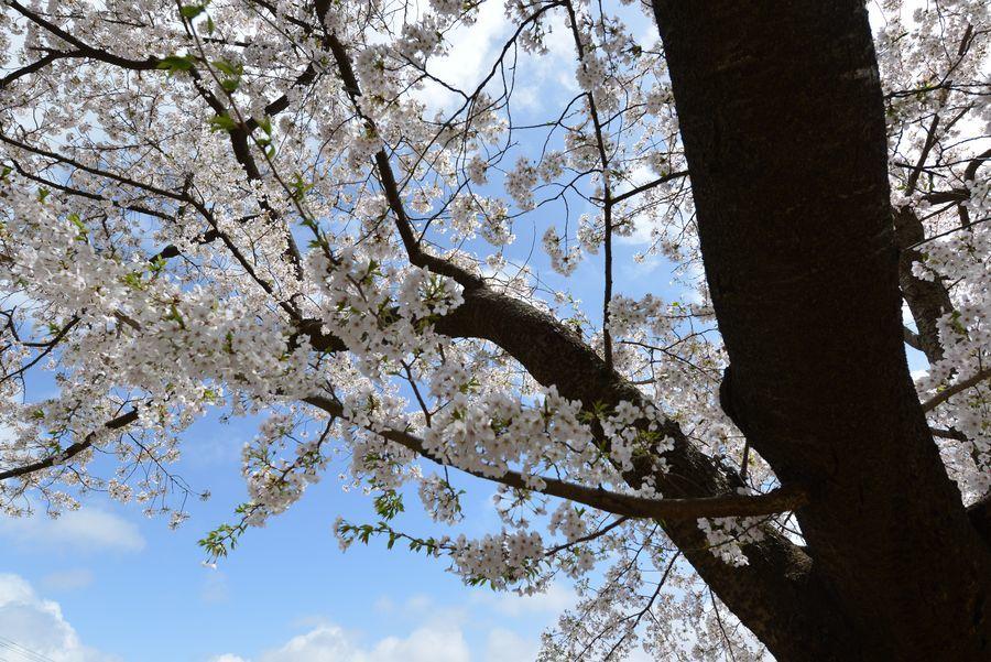 弥彦公園の桜-5
