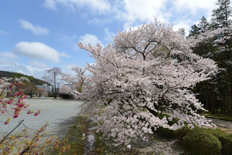 弥彦公園の桜-6