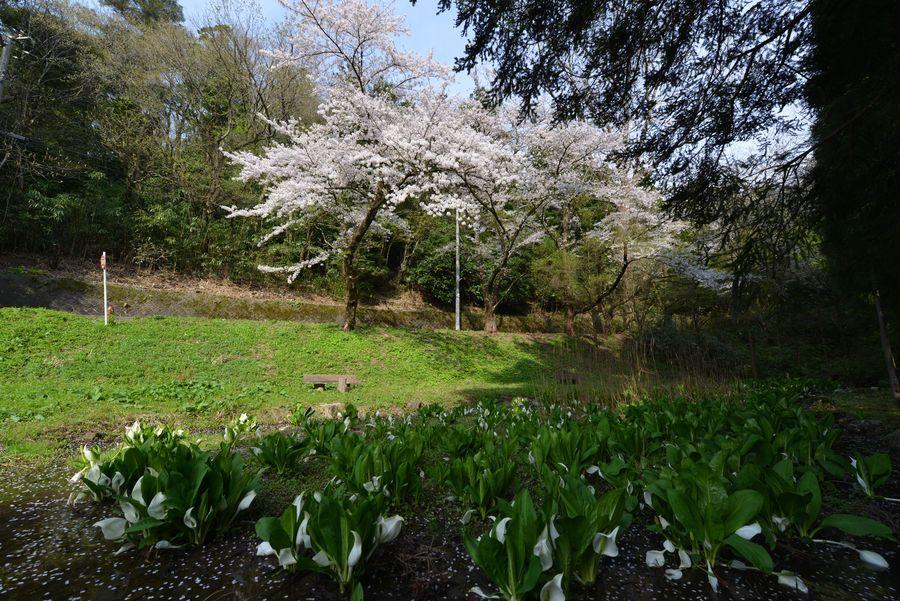 桜と水芭蕉-1