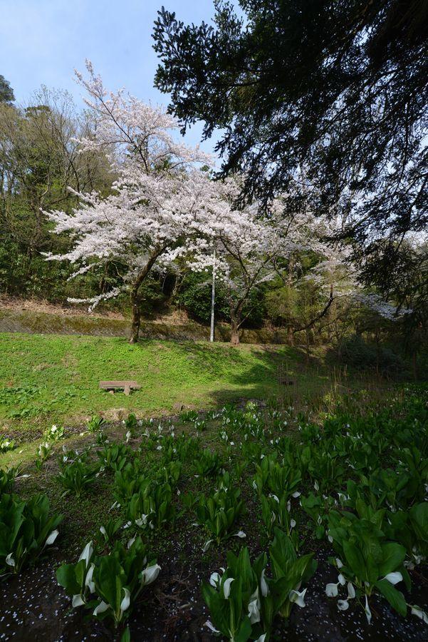 桜と水芭蕉-2