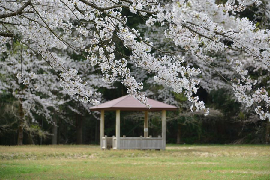 升箕の桜-1