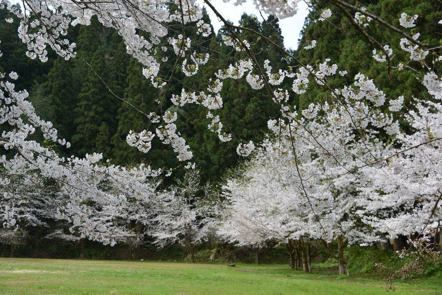 升箕の桜-2