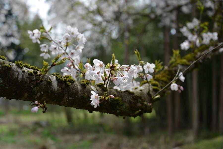 升箕の桜-3