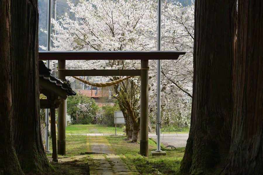 升箕の桜-4