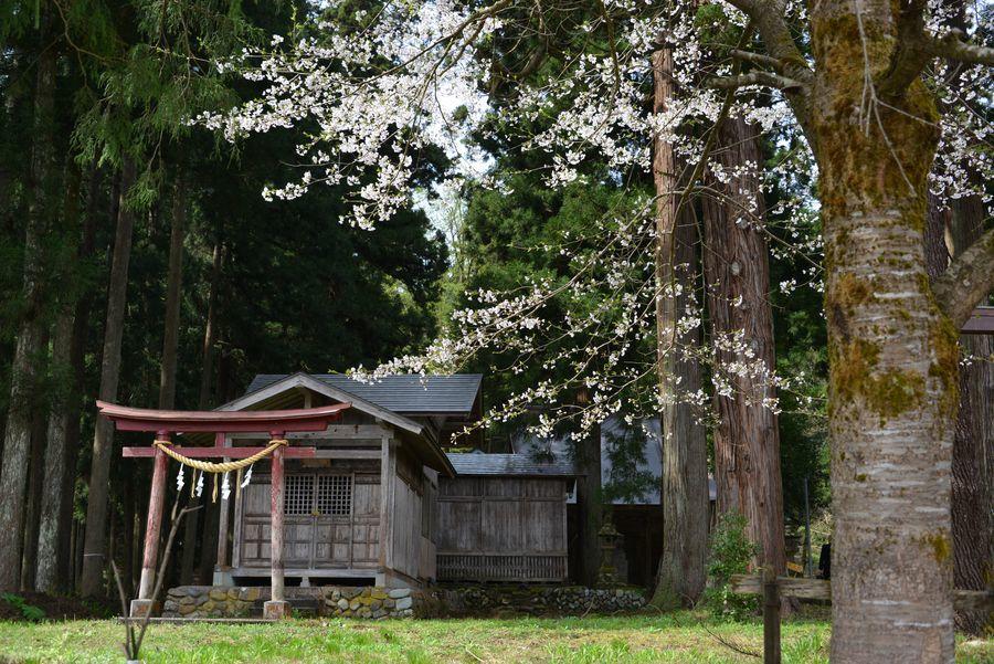 升箕の桜-6
