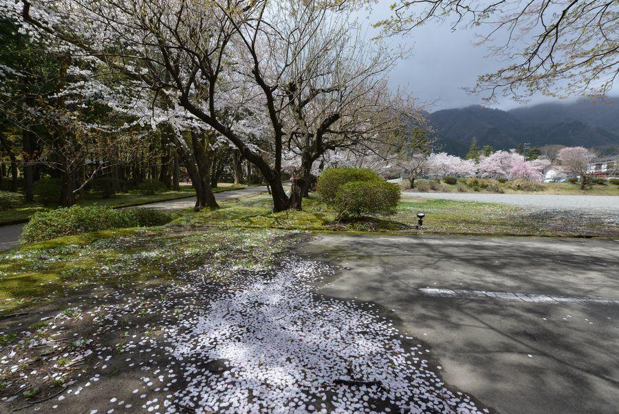 桜散る-1