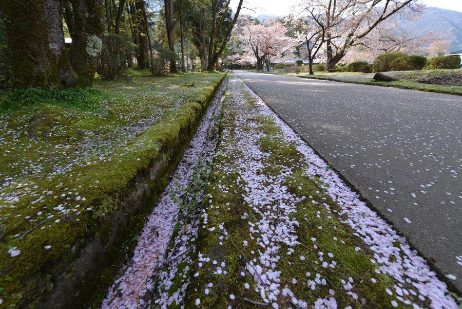 桜散る-2