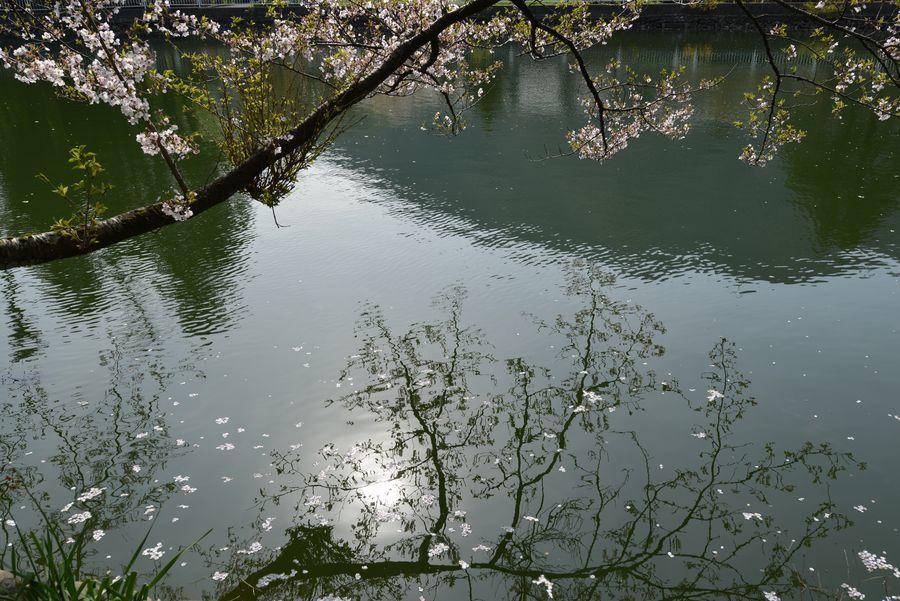 桜散る-5