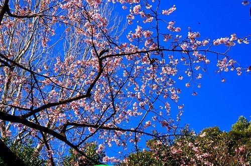DSC_寒桜1380_01
