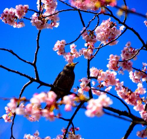 DSC_寒桜1376_01