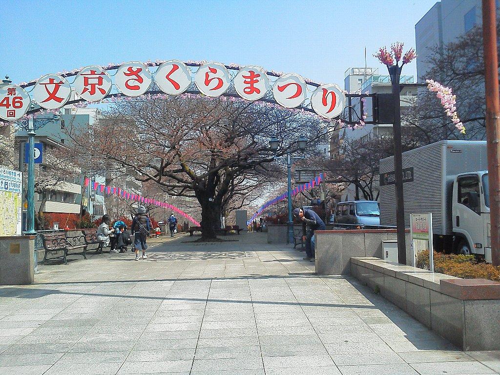 F1000105文京桜祭りの環三桜並木3月30日この辺は咲き始め