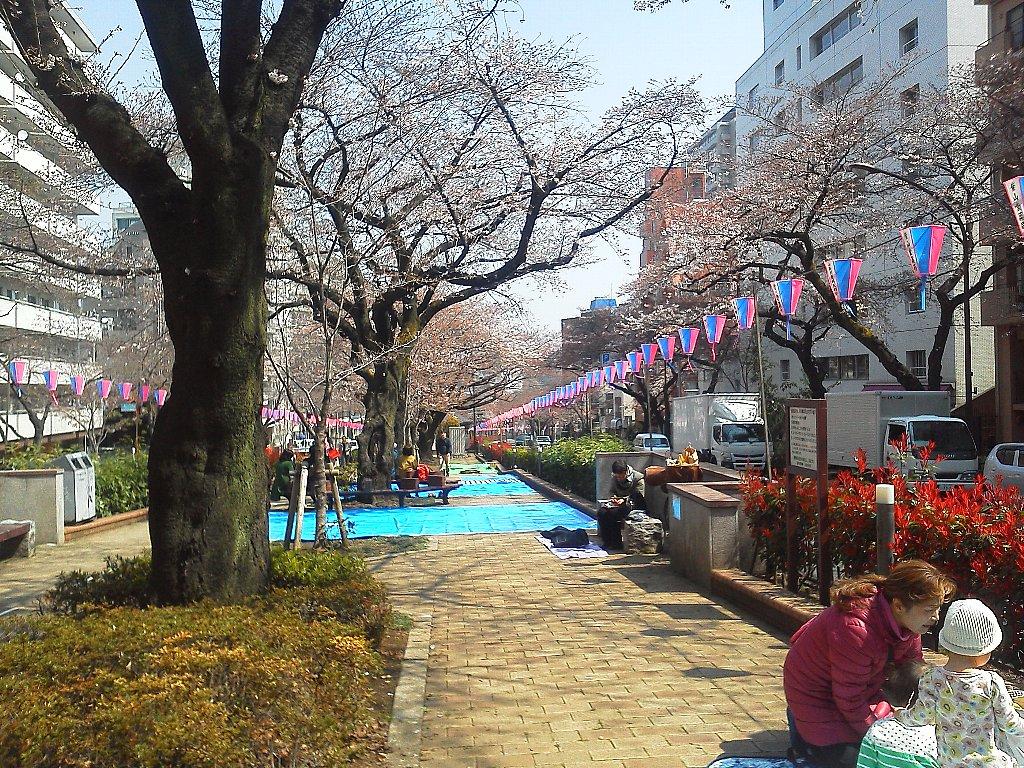 F1000106文京桜祭りの環三桜並木3月30日二分から三分咲き