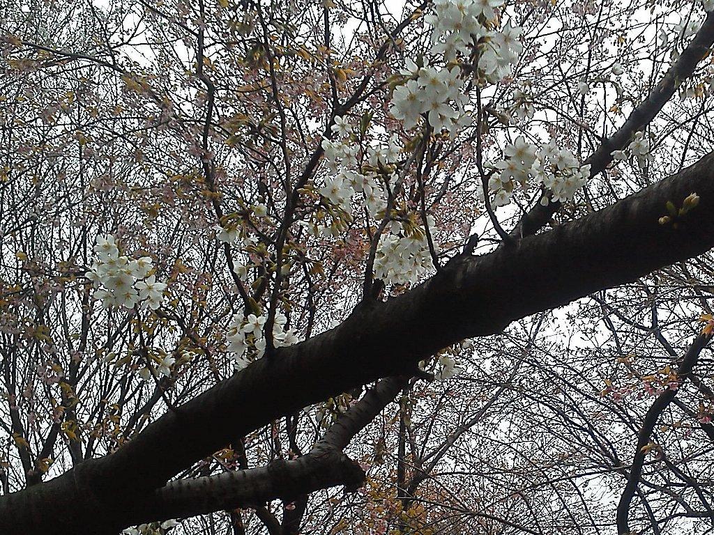 F1000115和光樹林公園3月31日咲き始めたソメイヨシノと散りゆくオオカンザクラ