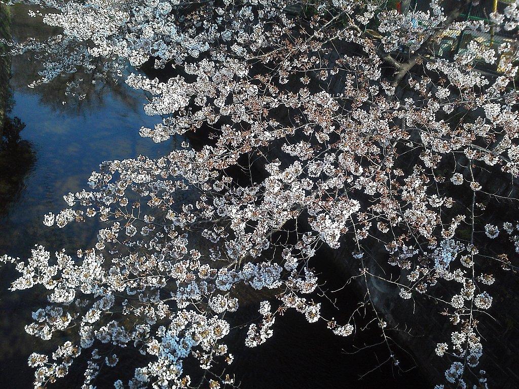 F1000148白子川別荘橋4月4日