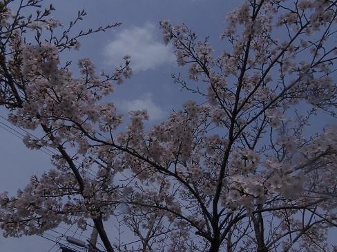 H29年 家の前の桜