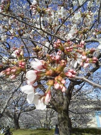 170407花見桜2