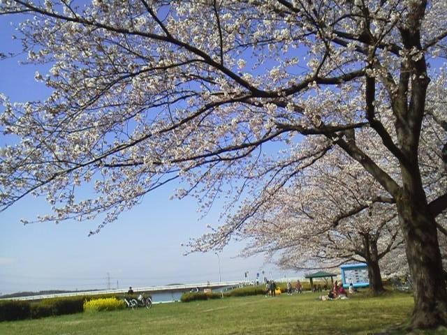 170407花見桜の下に座って2