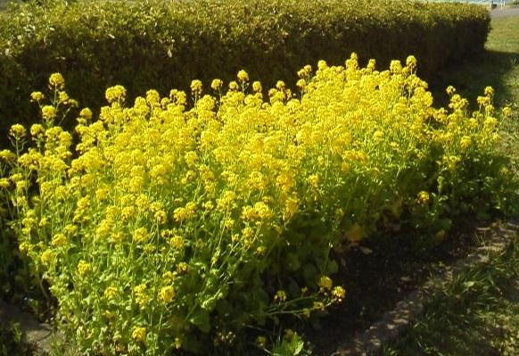 170407花見菜の花