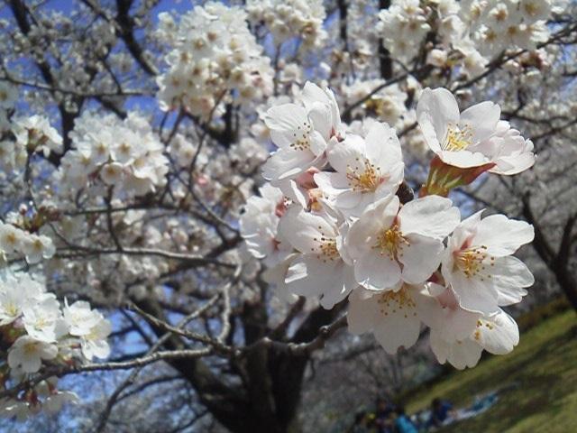 170407花見桜1