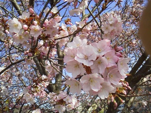 170407花見・ピンク濃い目の桜