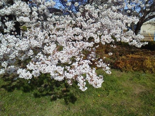 170407花見・地面に付きそうな桜