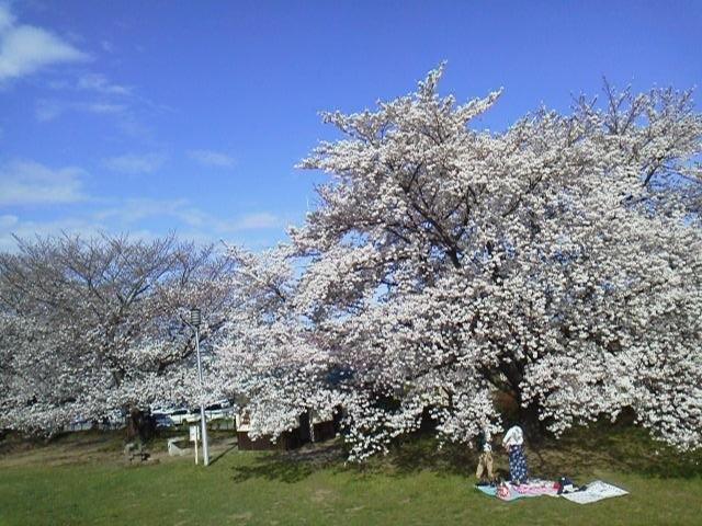 170407花見・満開と5分咲き並ぶ不思議