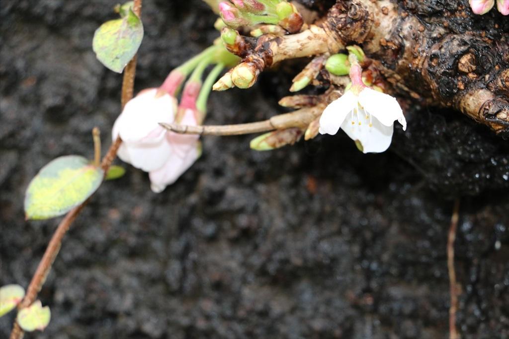 呑川のソメイヨシノが開花した_2