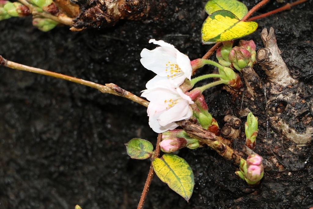 呑川のソメイヨシノが開花した_3