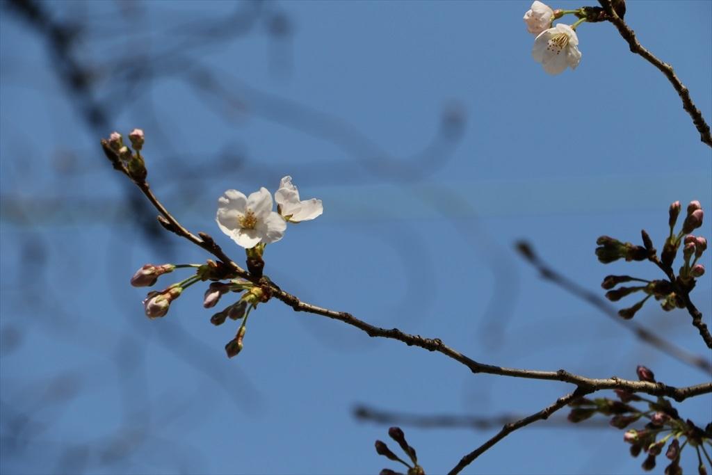昨22日の桜_1