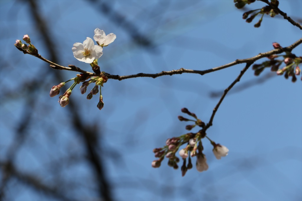 昨22日の桜_2