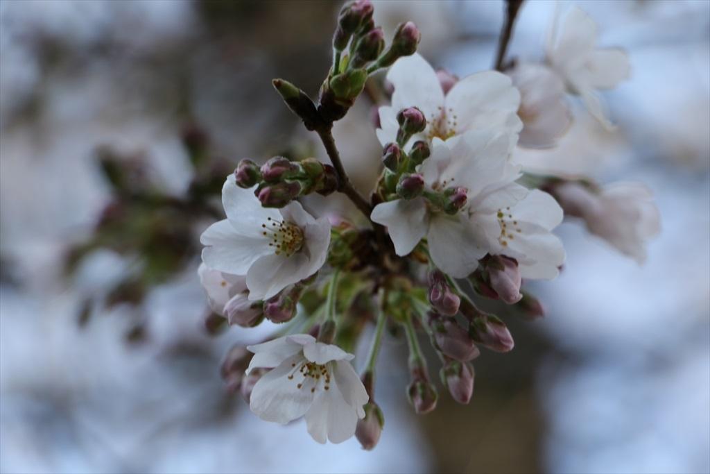 昨22日の桜_5