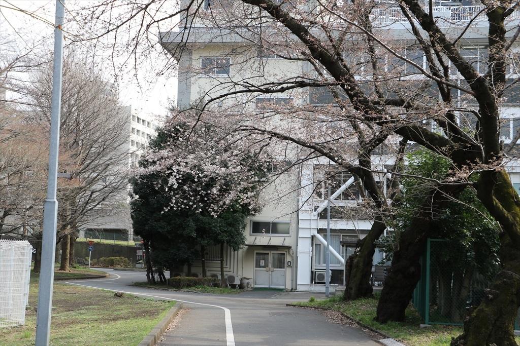 呑川遊歩道の桜並木より開花が先行している_1