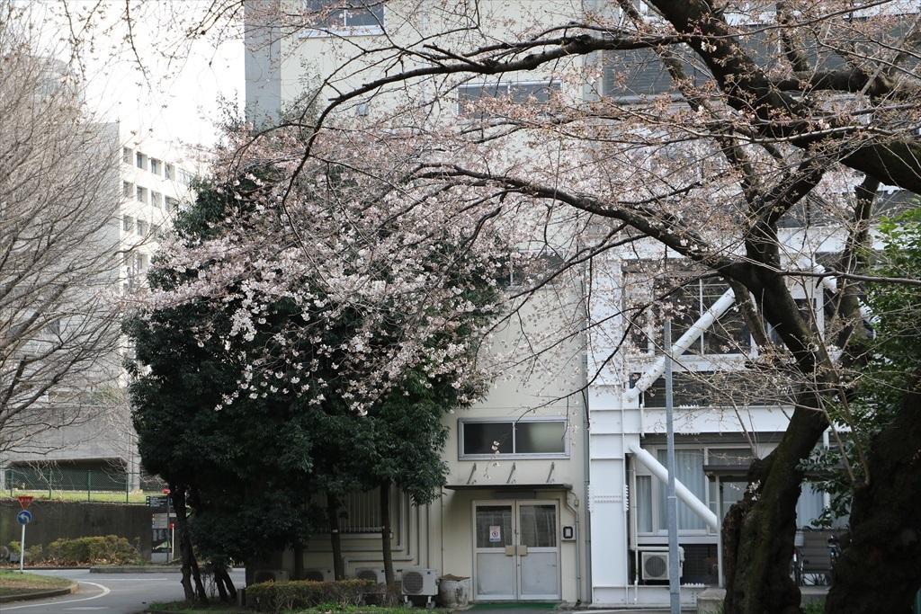 呑川遊歩道の桜並木より開花が先行している_2