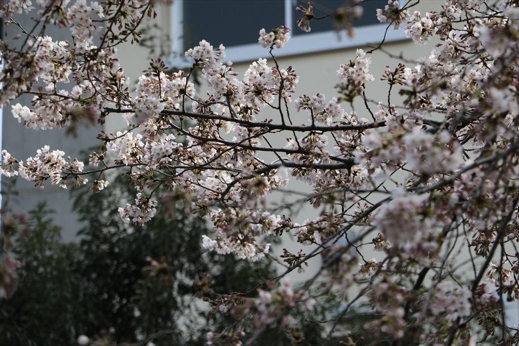 呑川遊歩道の桜並木より開花が先行している_3