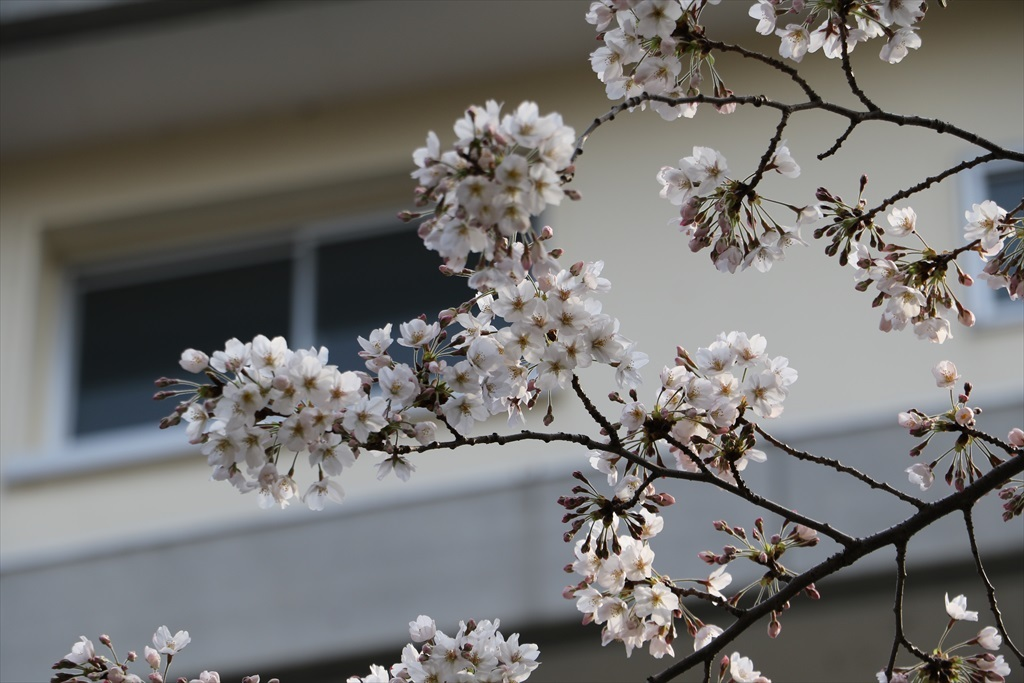 呑川遊歩道の桜並木より開花が先行している_4