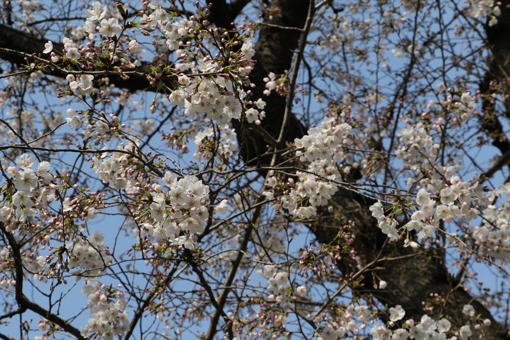 昨30日昼過ぎの桜_1