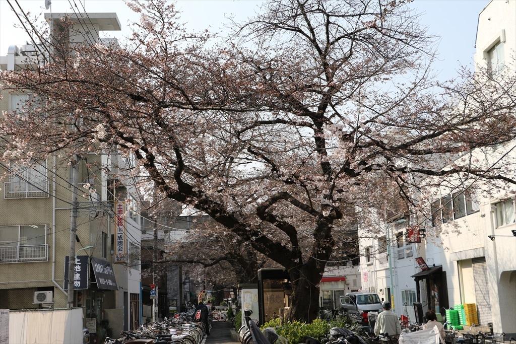 昨30日昼過ぎの桜_3