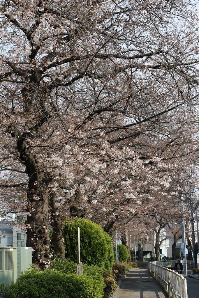昨30日昼過ぎの桜_5