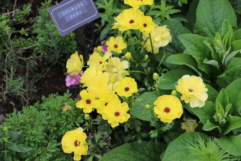 山下公園_花壇の花_42