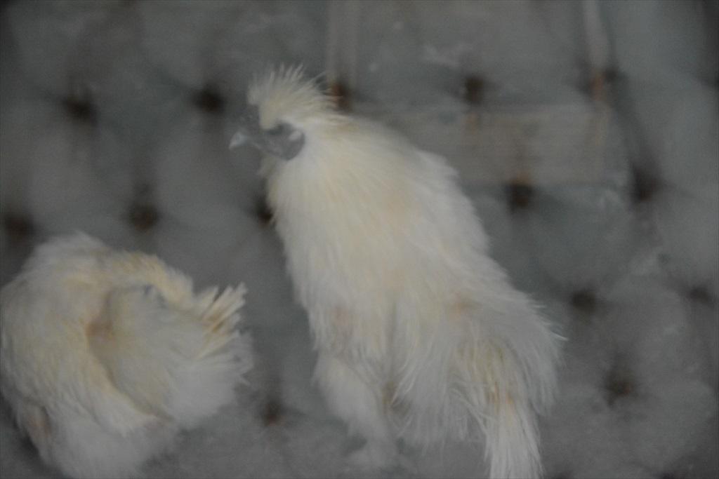 ドライブインに居た鶏たち_1