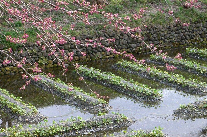 ワサビ田に蕾の桜